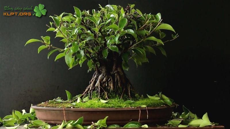 dac-diem-cua-cay-sung-bonsai