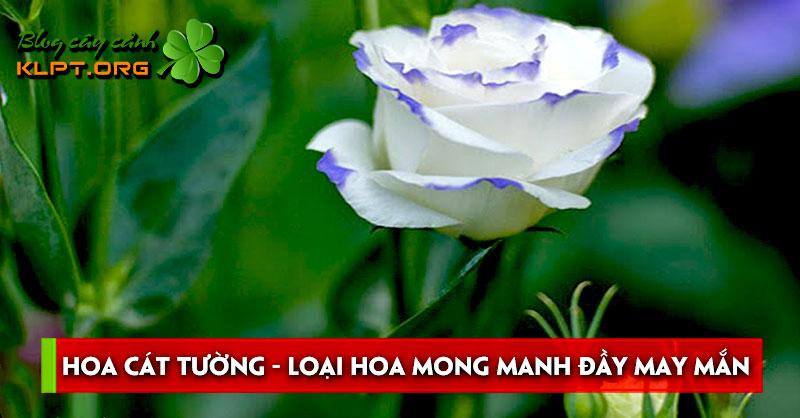 hoa-cat-tuong-loai-hoa-mong-manh-day-may-man