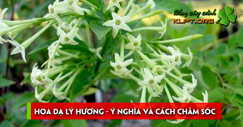 hoa-da-ly-huong-y-nghia-va-cach-cham-soc