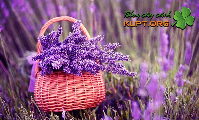 hoa-lavender-co-dac-diem-gi-klpt