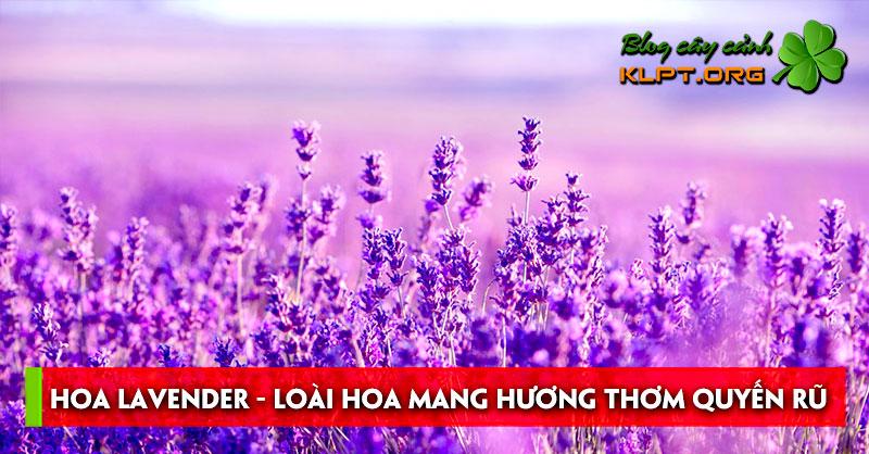 hoa-lavender-loai-hoa-mang-huong-thom-quyen-ru