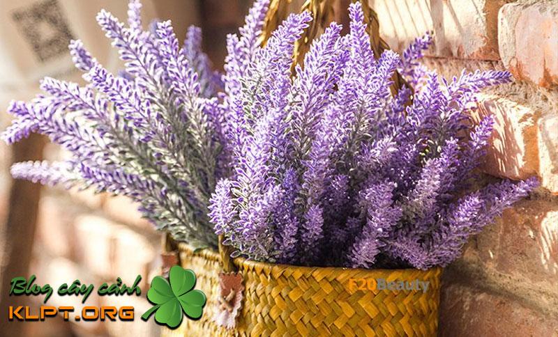 hoa-oai-huong-lavender-cau-chuyen-tinh-yeu-chung-thuy-klpt-1