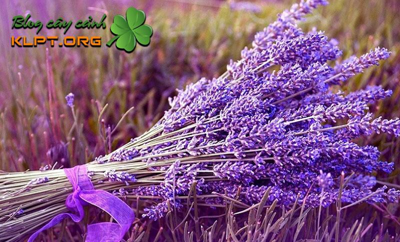hoa-oai-huong-lavender-cau-chuyen-tinh-yeu-chung-thuy-klpt