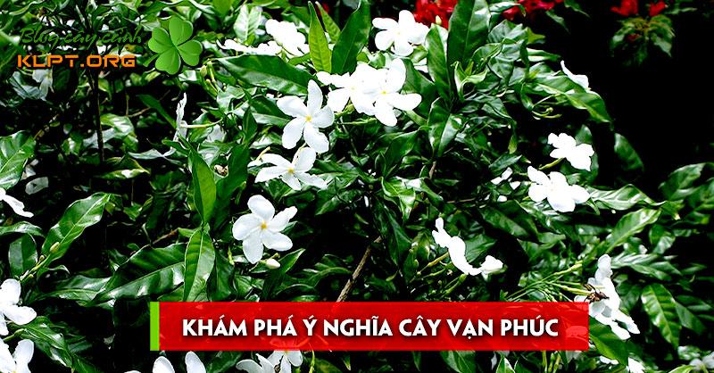 kham-pha-y-nghia-cay-van-phuc