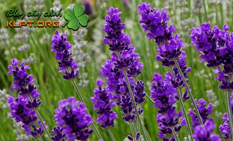 xuat-xu-cua-hoa-lavender-klpt
