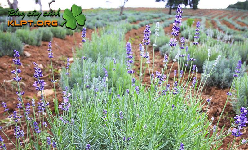 y-nghia-cua-hoa-oai-huong-lavender-klpt