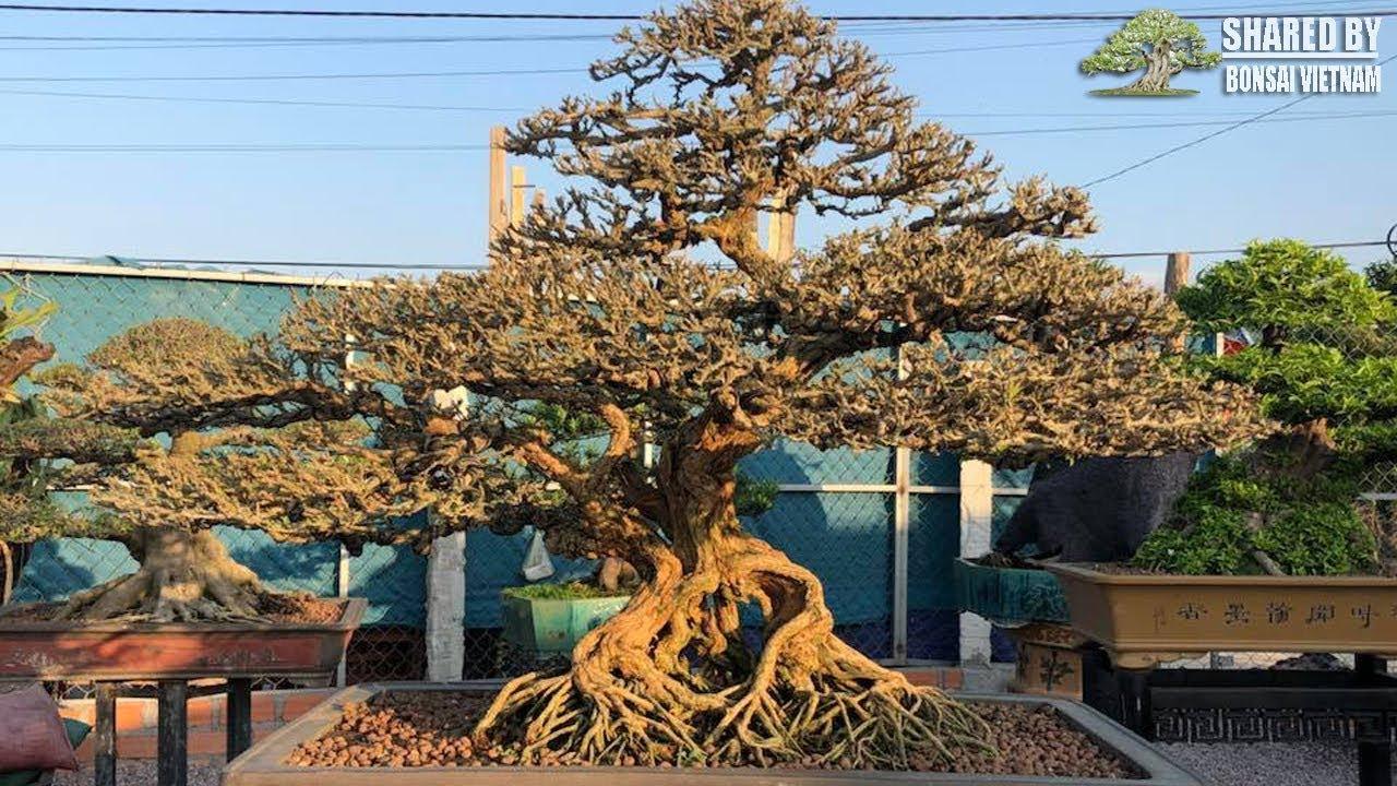 10 Tác phẩm Bonsai đẹp tháng 4 || Phần 2