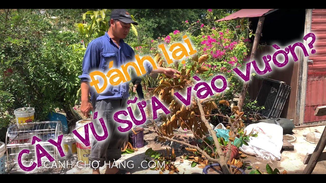 150. Đánh cây vú sữa ở vườn - Cây cảnh Chợ Hàng