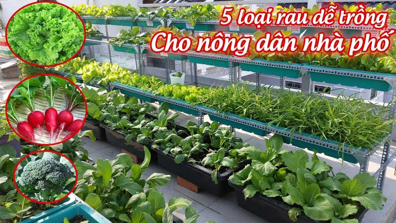 5 loại rau xanh dễ trồng cho nông dân nhà phố