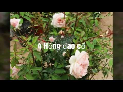7 loại hồng cổ đẹp nhất ở Việt Nam (Top 7of the most beautiful rose in Viet Nam)