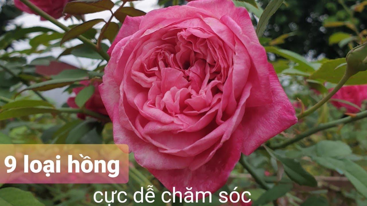 9 Loại Hoa Hồng Cổ Việt Nam.Dễ Chăm Sóc Hoa Bền Đẹp.Chịu Mọi Thời Tiết