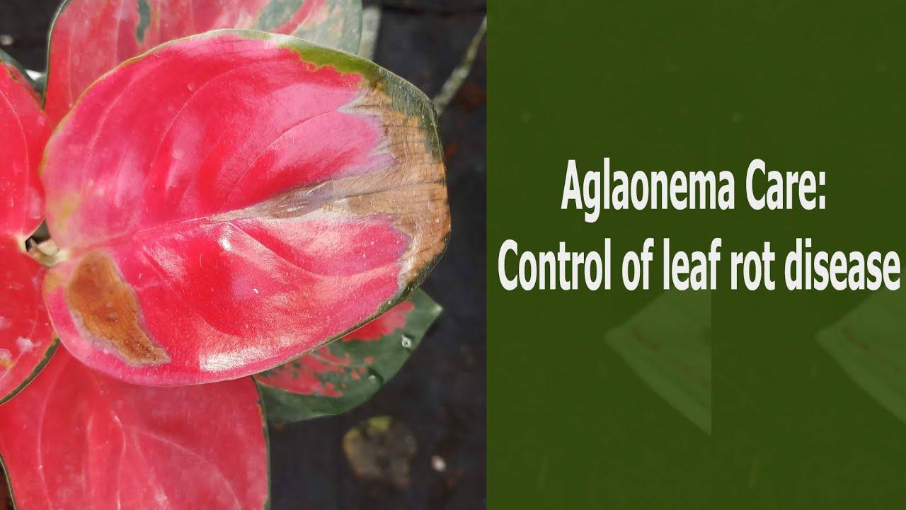 Aglaonema Care: Control of leaf rot disease