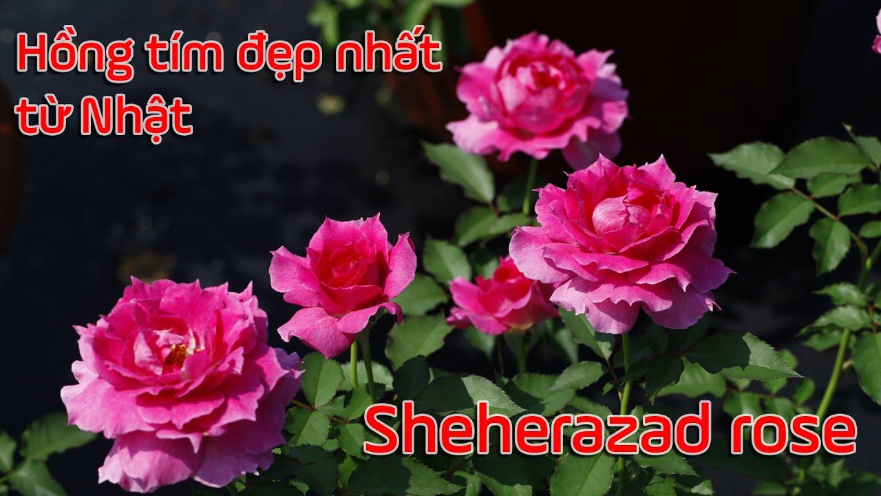 Ai cũng mê hoa hồng Sheherazad màu hồng tím đẹp nhất từ Nhật