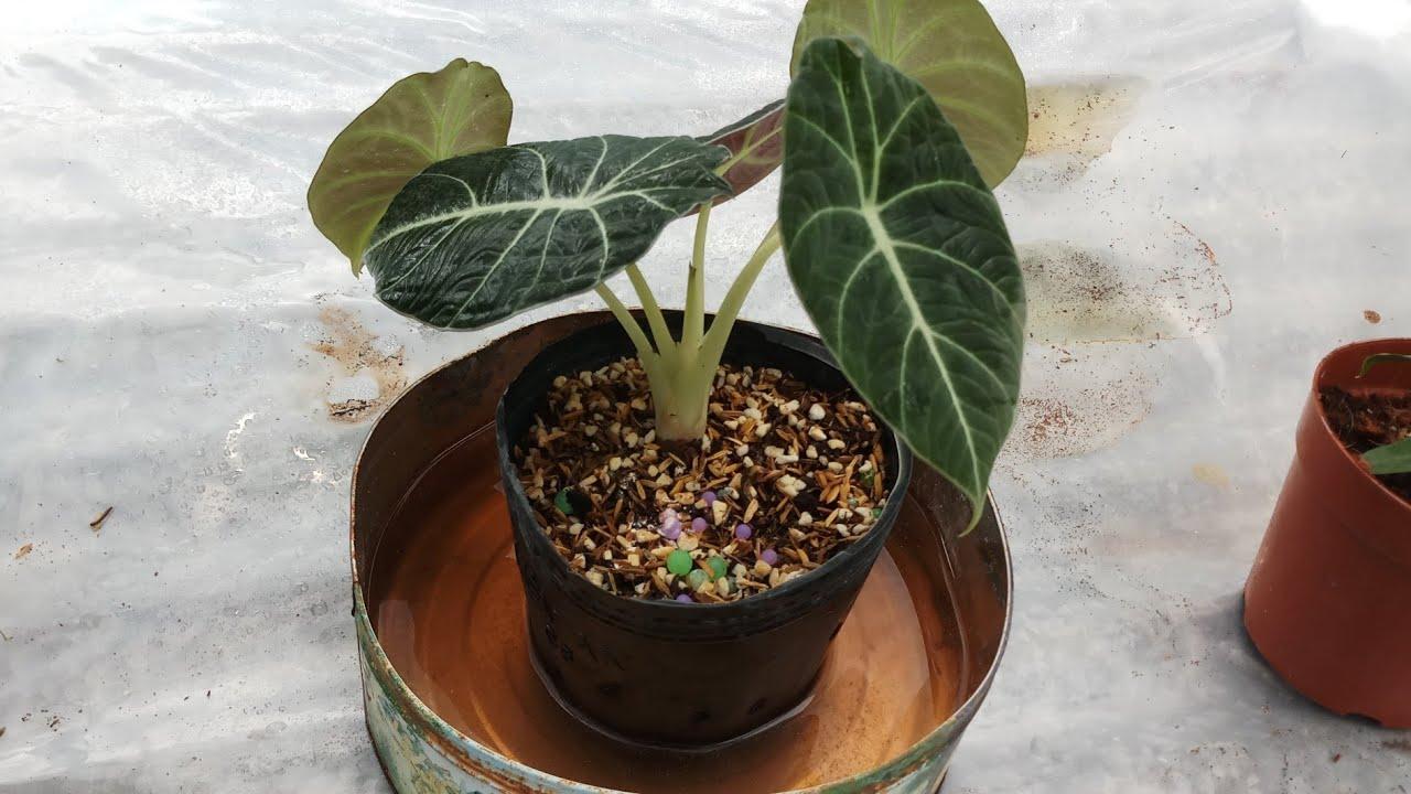 Alocasia Care: fertilizer for alocasia black velvet
