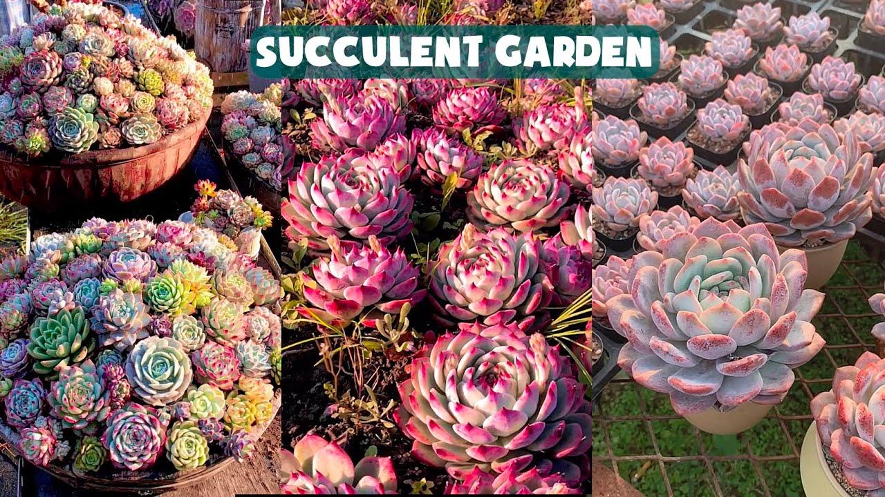Amazing Succulent Garden| Vườn sen đá tuyệt đẹp | 多肉植物| 다육이들 | Suculentas