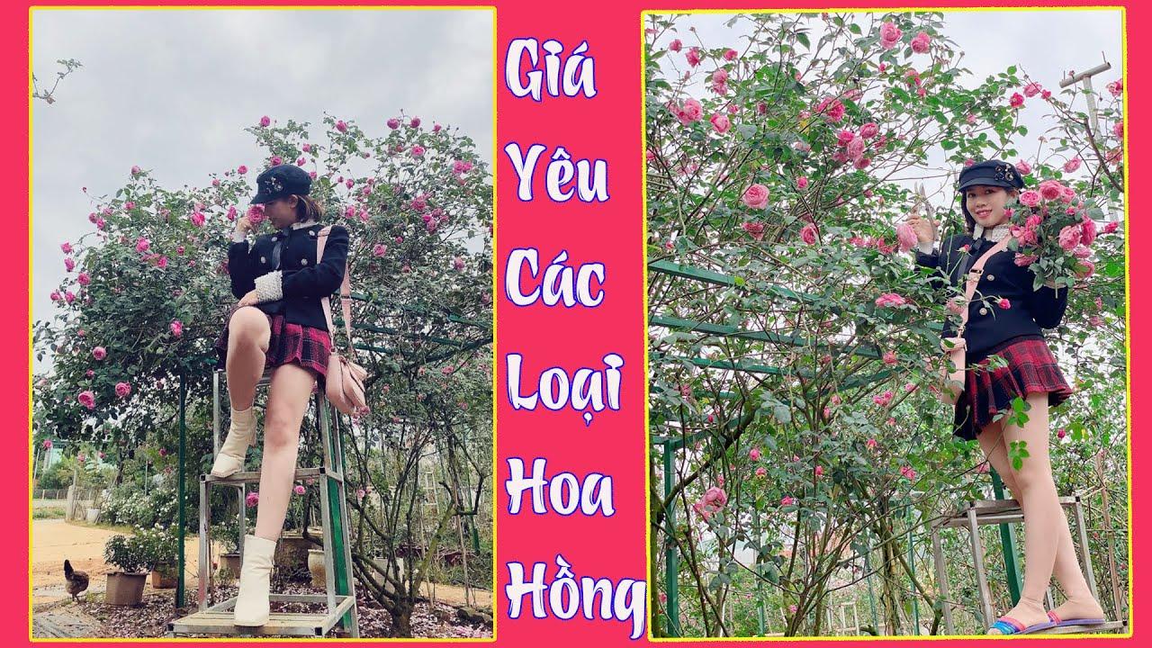 Báo Giá Cực Sốc Các Loại Hoa Hồng Trên Vườn Hồng Nguyệt Điền DT 0936004868