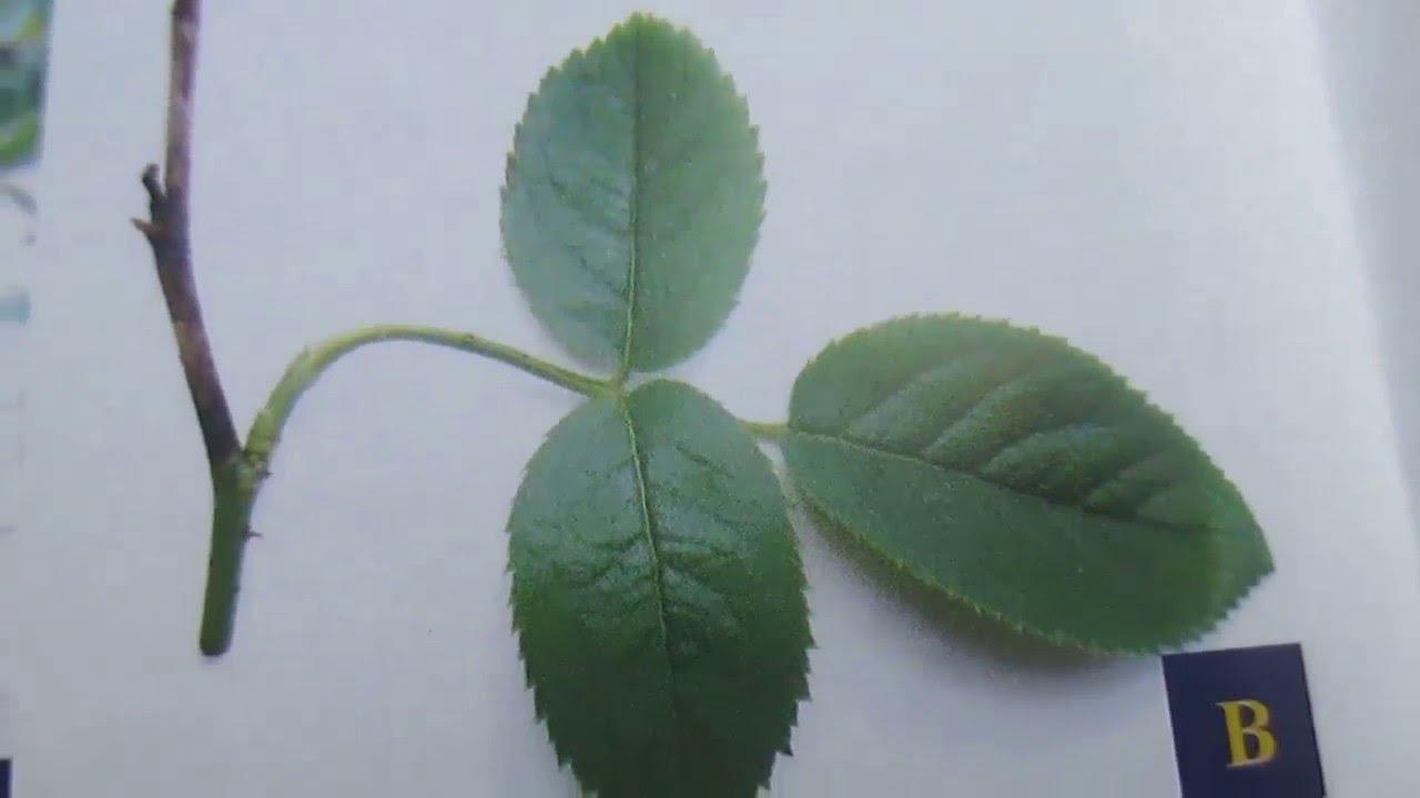 Bệnh khô cành hoa hồng (Botryodiplodia Blight of Rose)