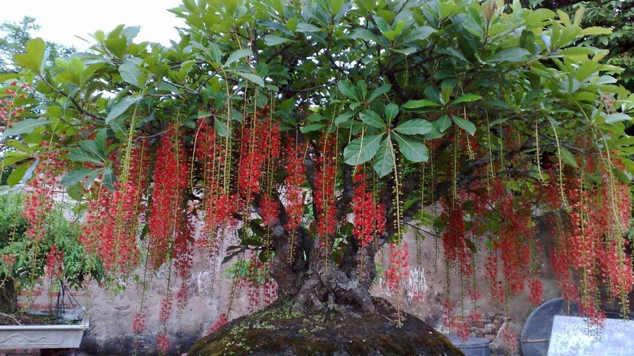 Bí quyết trồng lộc vừng ra nhiều hoa theo ý muốn