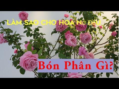 Bón Phân gì? Để hoa nở to, nở đều đẹp.|What fertilizer? for the Rose
