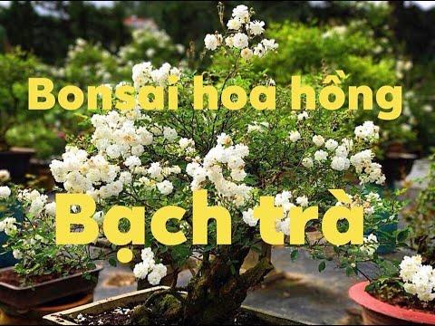 Bonsai bạch trà hoa hồng bạch trà