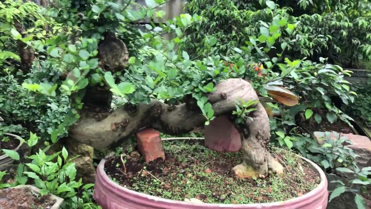 Bonsai gốc côn đẹp
