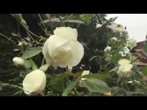 Cách để cây hoa hồng sai hoa theo ý muốn