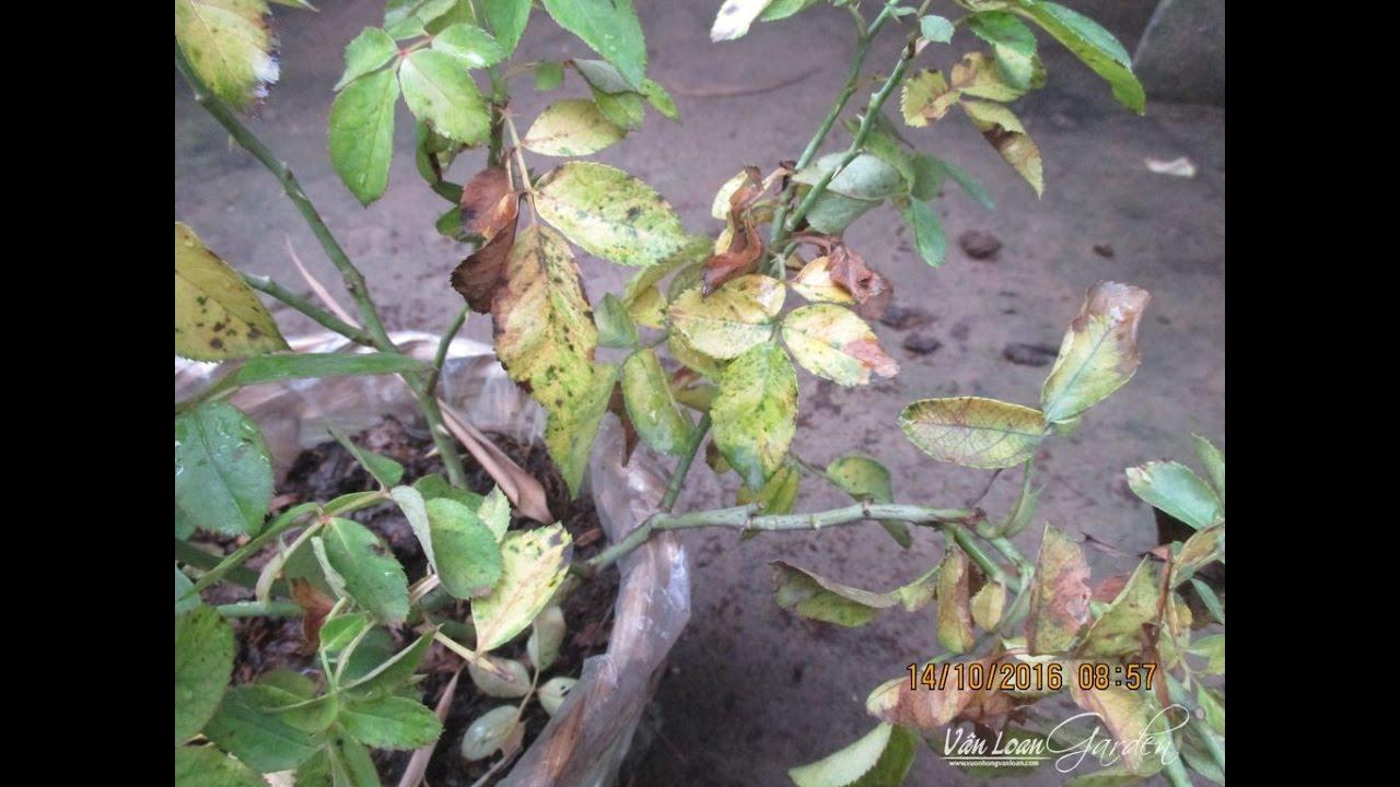 Cách điều trị cây hồng leo bị vàng lá chết héo