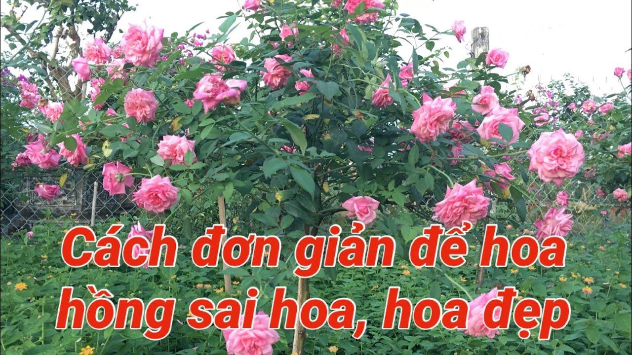Cách đơn giản để hoa hồng sai hoa, hoa đẹp