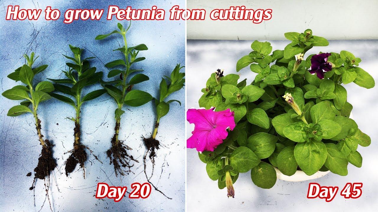 Cách giâm cành dạ yến thảo bằng cát thành công 100% | How to grow Petunia from cuttings