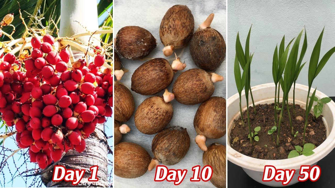Cách trồng cây cau cảnh từ quả cau nảy mầm 100%