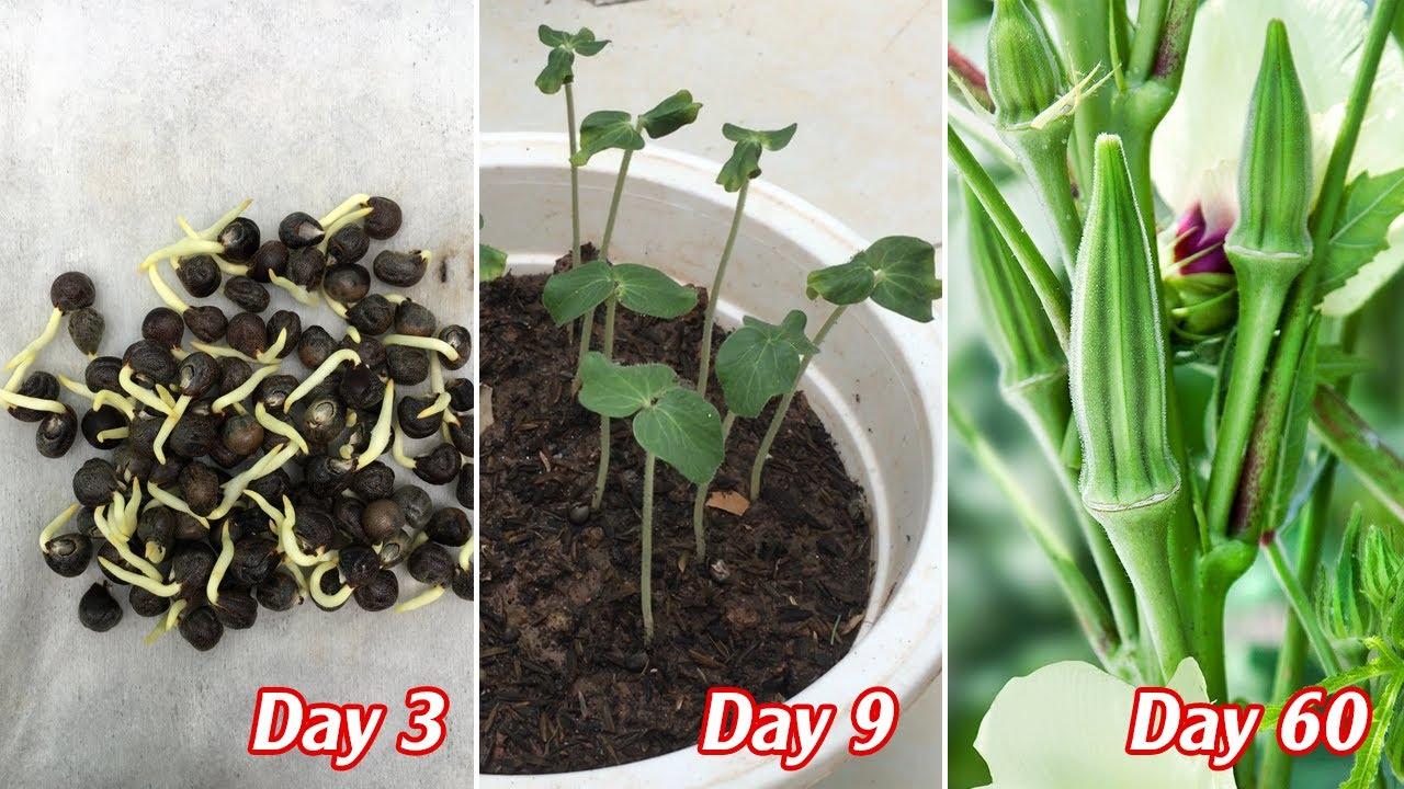 Cách trồng đậu bắp từ hạt đơn giản dễ thành công - planting okra