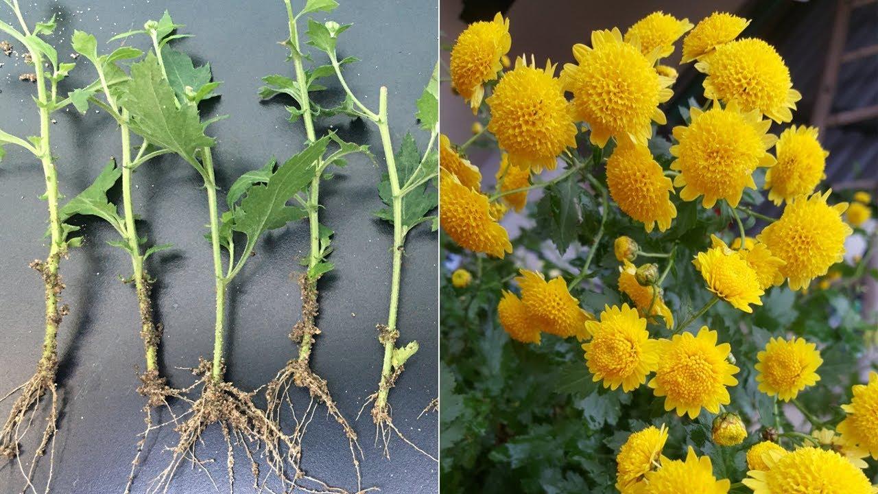 Cách trồng hoa cúc chi rủ bằng cành | How to grow chrysanthemums from cutting