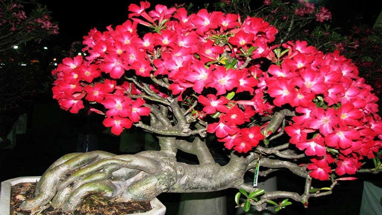 Cách trồng sứ thái nở hoa quanh năm