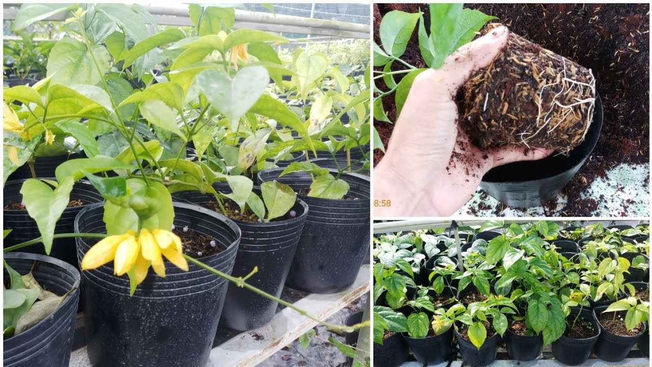 Cách trồng và chăm sóc cây lan Hoàng Dương: thay chậu cho cây con, cây mới mua về
