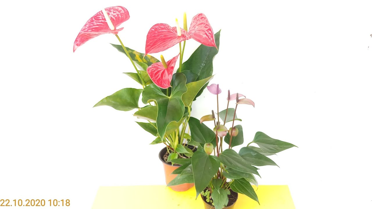 Cây đại hồng môn & cây hồng môn tím Violet
