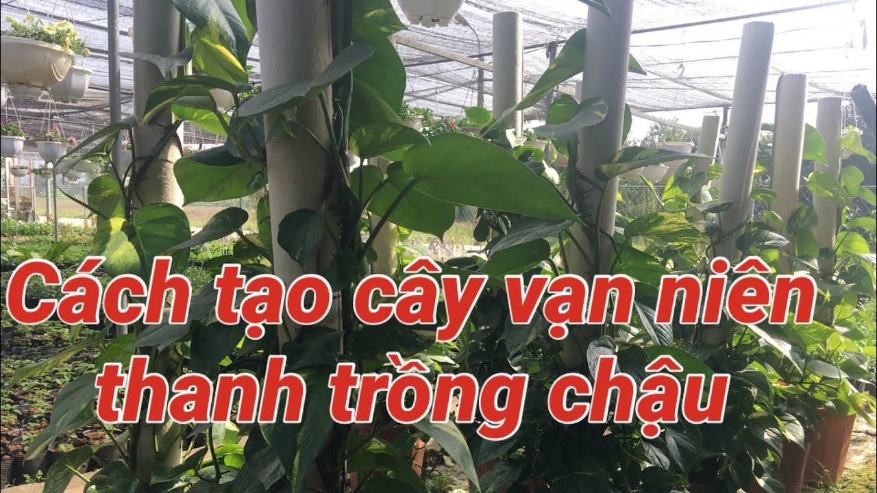 Chia sẻ cách trồng cây vạn niên thanh trong chậu