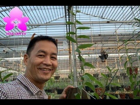 Chiêm Ngưỡng Giò Phi Điệp Hồng ''Triệu Đô'' Tại Vườn Lan Trịnh Toàn [HOALANTV]