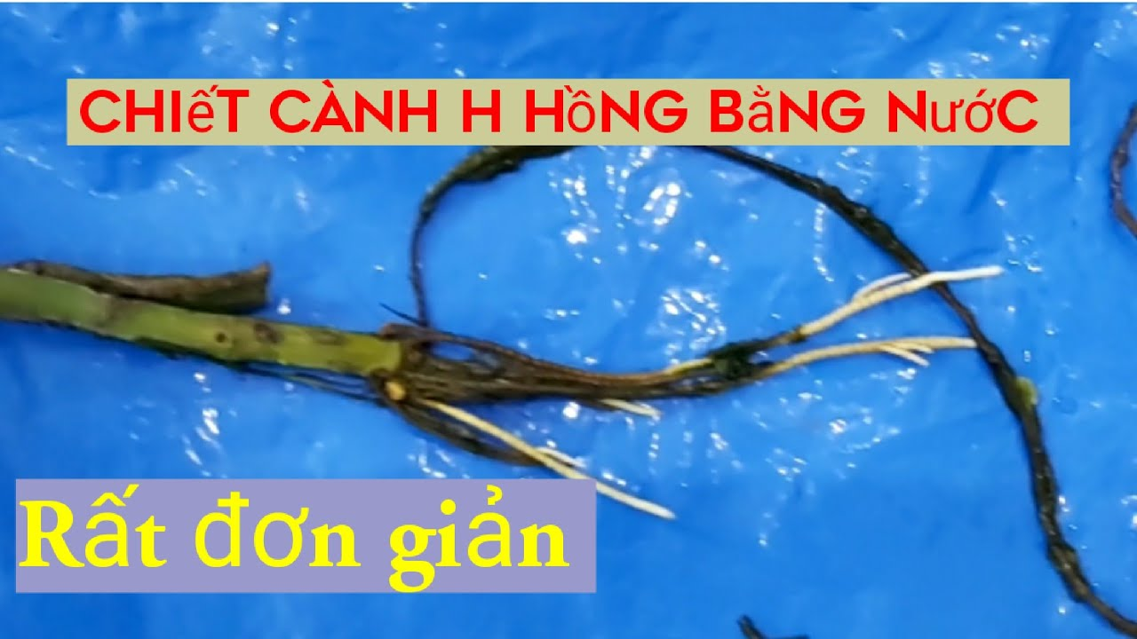 Chiết Cành Hoa Hồng bằng nước. How to extract branches With warter properly.