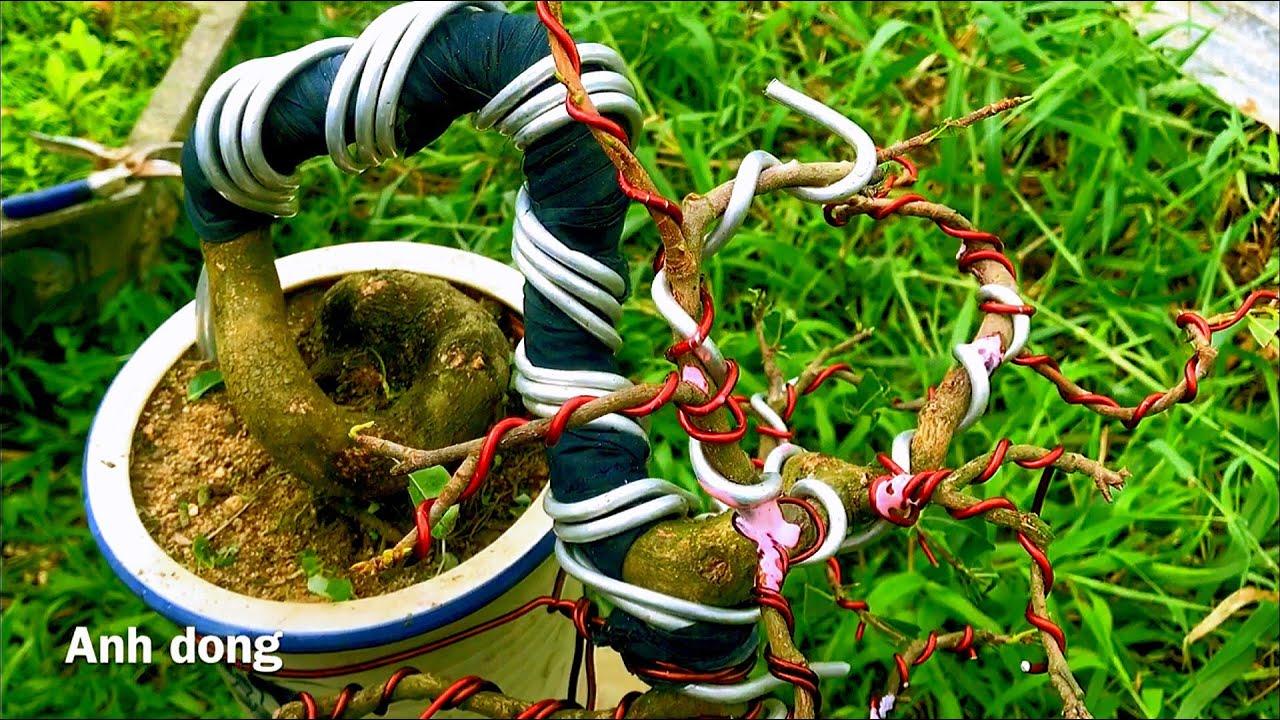 Chuyển dáng cây mai giao lưu chung niềm đam mê bonsai