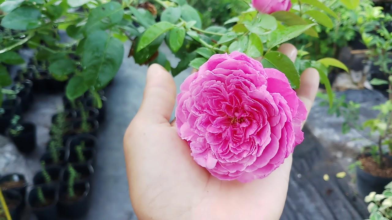 Đặc tính giống hồng ngoại For Your Home rose (hoa hồng Nhật Bản)
