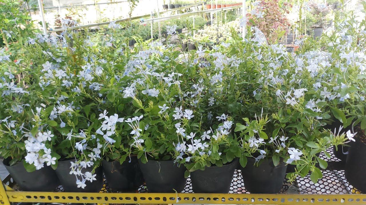 Đặc tính và cách trồng cây thanh xà ( đuôi công xanh)