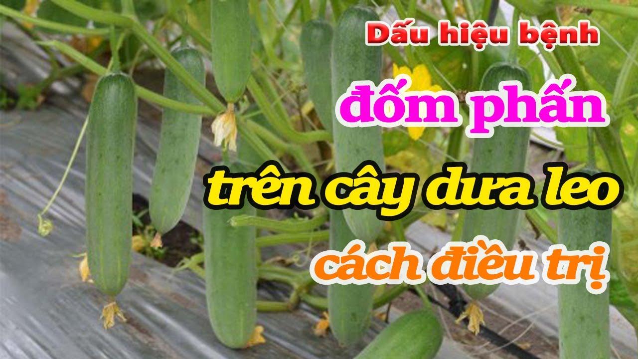 Dấu hiệu phát hiện bệnh đốm phấn trên cây dưa leo và cách điều trị