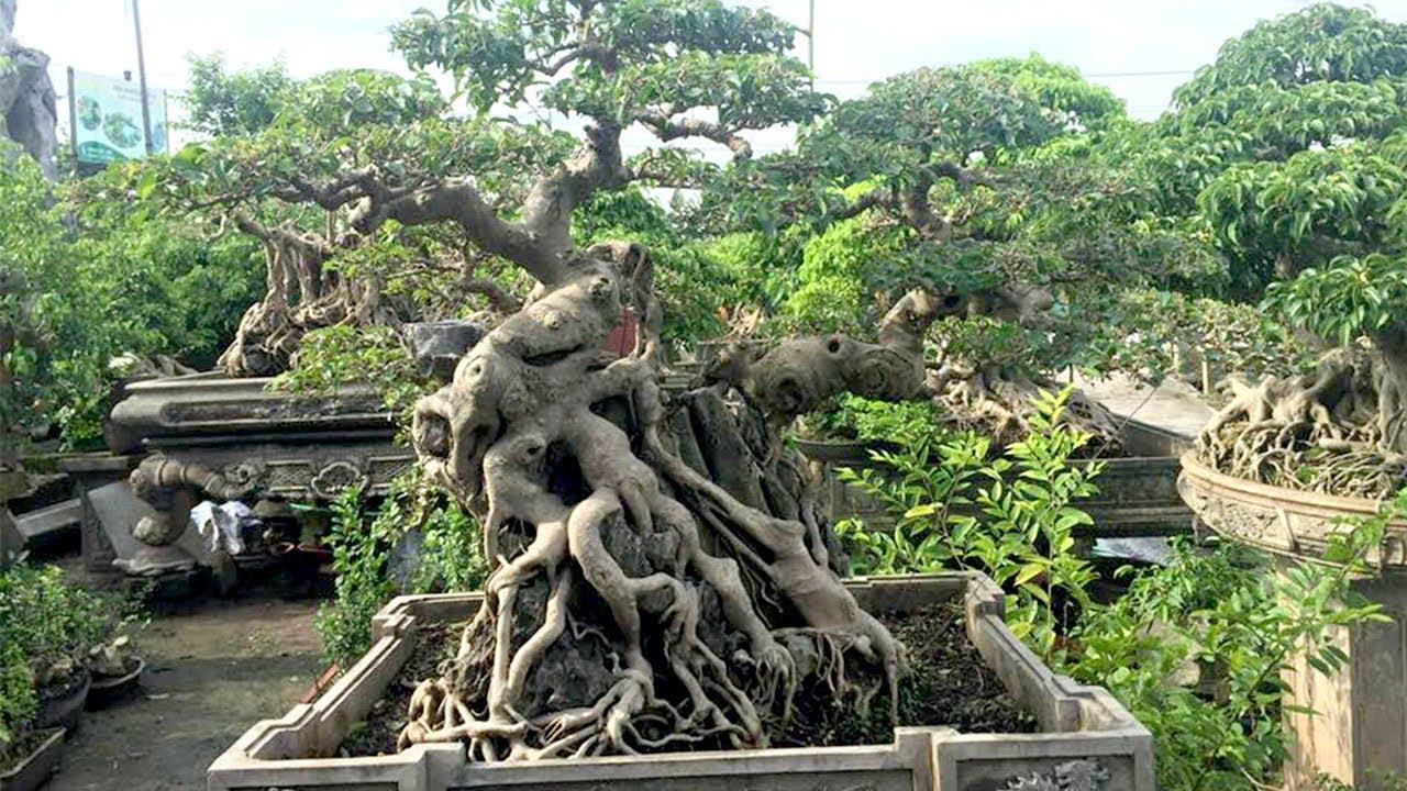 Đây đúng là vườn cây đẳng cấp, hỏi giá mới biết vẫn còn cây tiền tỷ