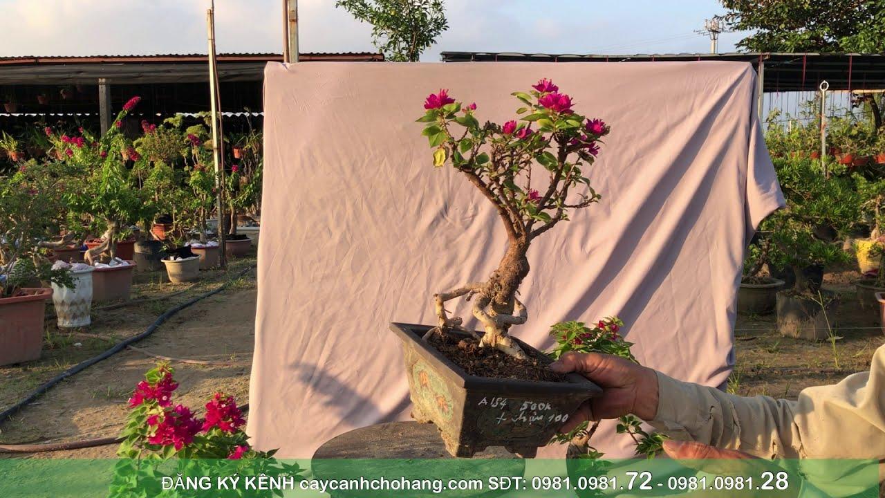 Giao lưu Bonsai Ngày 06-12-2020 | SĐT: 0981.0981.72 | CÂY CẢNH CHỢ HÀNG | Hải Phòng