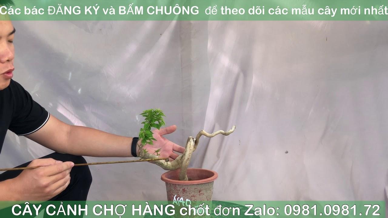 Giao lưu bonsai | 0981.0981.72 | 28-10-2020 | Tiktok CÂY CẢNH CHỢ HÀNG | Hải Phòng