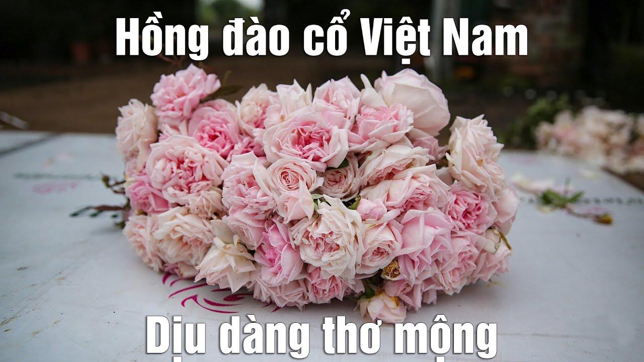 Giống hồng đào cổ - hoa hồng cổ dịu dàng thơ mộng nhất