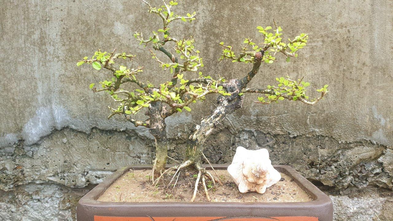Gl chậu bonsai sam trái mini để bàn dáng phu thê (0383938201)