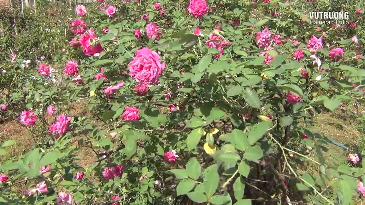 Hoa Hồng Tại Vườn Hồng Nguyệt Điền