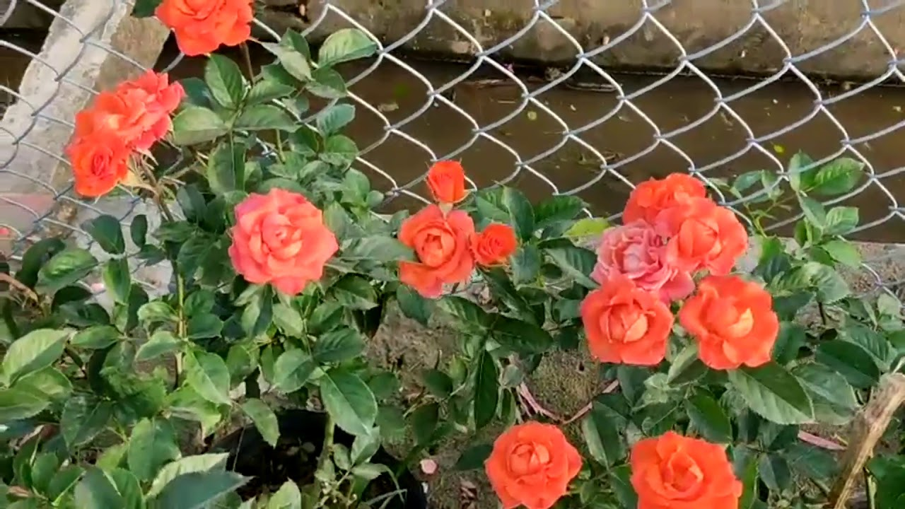 Hồng tỷ muội một trong những loại hồng được yêu thích nhất hiện nay