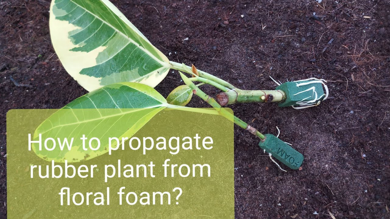 How to Propagate rubber plant from floral foam